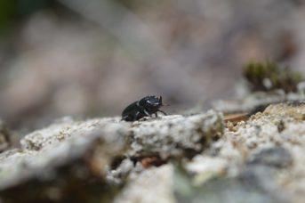 Accertata la presenza del coleottero Sinodendron cylindricum